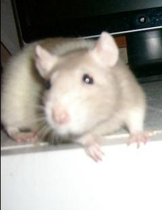 Sickle My Pet Rat R.I.P.