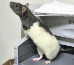 Black & White Hooded Rat