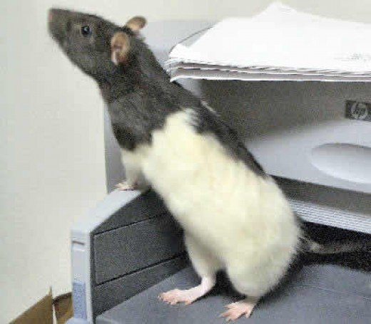 Black & White Hooded Rat