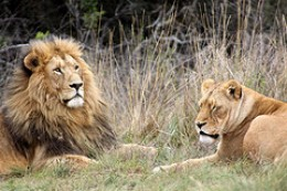 Like lion and cub, like father and son.