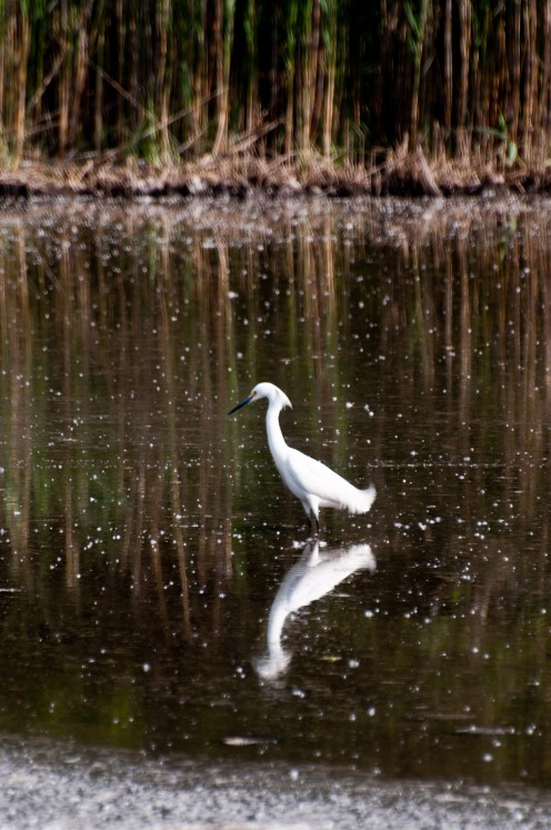 Snowy Egret at Rocky Neck