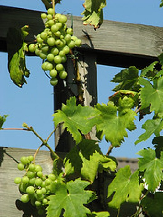 """Fruitful Vine"" inspires productivity"