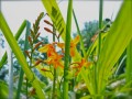 More Blackberry Lilies