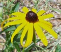 The Faithful Black-eyed Susan