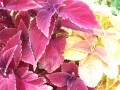 Wine Coleus with a Blush Coleus