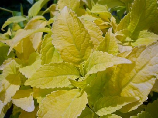 Golden Lime Coleus--Fabulous in the Shade