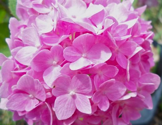 Cotton Candy Pink Hydrangea