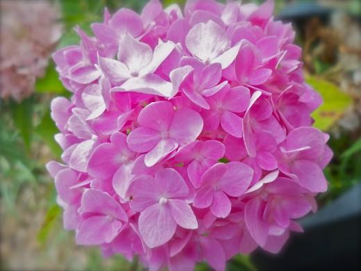 More Pink Hydrangea