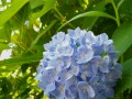 Traditional Blue Hydrangea
