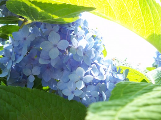 More from Under the Blue Hydrangea