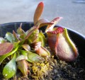 Cephalotus Follicularis (Albany Pitcher Plant) Carnivorous Plant