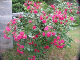 My original red rose bush in bloom.