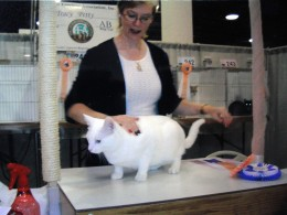 Image of Caspurr being awarded Best Household Pet by CFA Judge Tracy Petty.