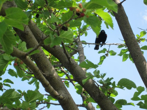 Red Winged Black Bird staring at me while I take his picture.