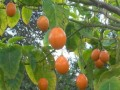 Tamarillo (Tomato Tree)  with Recipe for Making Tamarillo Jam and More..