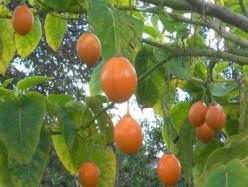Tamarillo (Tomato Tree)  with Recipe for Making Tamarillo Jam and More..