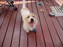My dog playing with the Hartz Rubber Ball with Bell for Tiny Dogs.