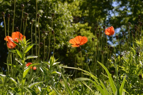 I love poppies in the garden.