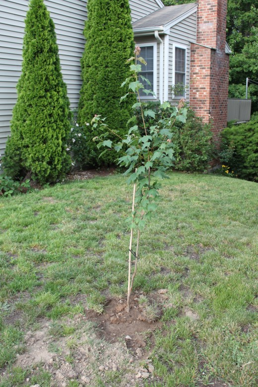a small maple tree i recently planted on the southwest side of my house, a few years from now it will shade the family from the hot afternoon sun, but wont block the sun in the winter!