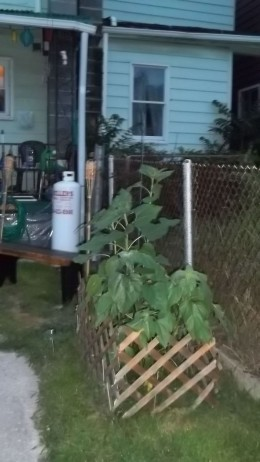 Sunflowers transplanted into yard with protective lattice fencing.