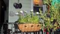Patriotic Flower Blend transplanted into railing pot.