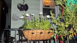 Patriotic Flower Blend transplanted into railing pot.
