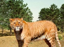 Is there any animal that is cooler than the liger?