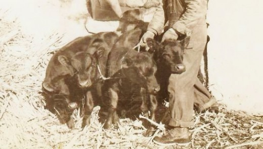 Some calves