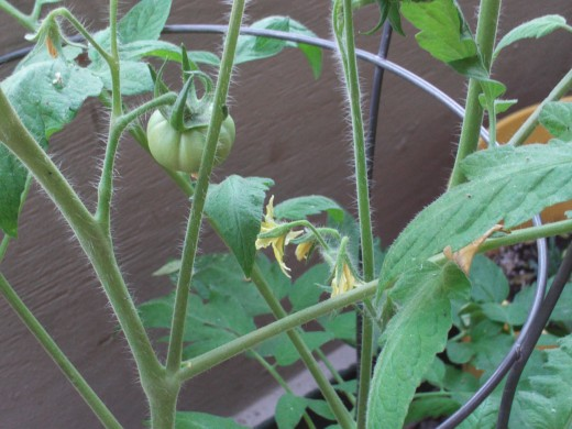 Small tomatoes beginning to form on the vine.