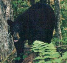 Black Bear: 2-3 year old male