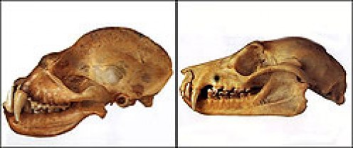 Skulls of a microbat (left) and a microbat (right).