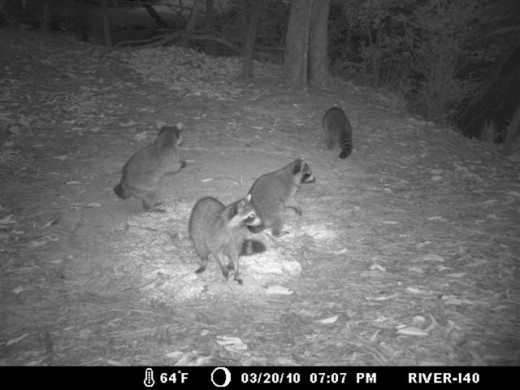 Raccoons stand on their hind likes to get a better look when they sense danger.