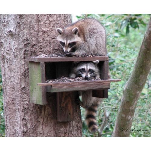 Raccoons love sunflower seeds.