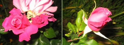 Roses - Copyright Tricia Mason