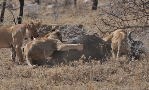 http://en.wikipedia.org/wiki/File:Lions_taking_down_cape_buffalo.jpg