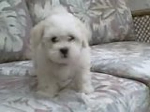 Sugar Pie when she was a puppy.