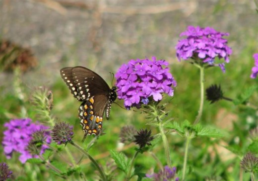 "Homestead verbena is a ""must have"" in the butterfly garden."