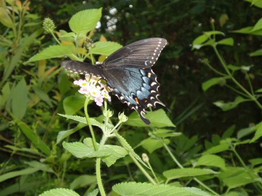 Ham and Eggs and Butter and Eggs Lantana attract many different kinds of butterflies and birds.