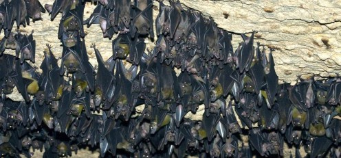 A roost of unidentified megabats inside a cave.