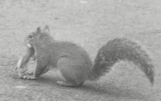 Even a mother squirrel knows when to move her baby to safety. Author photographed a mother squirrel while sitting outside a drive-in restaurant.