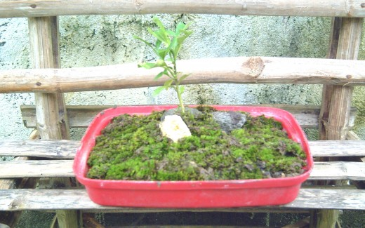 Travel Man's Bonsai (using young orange plant)