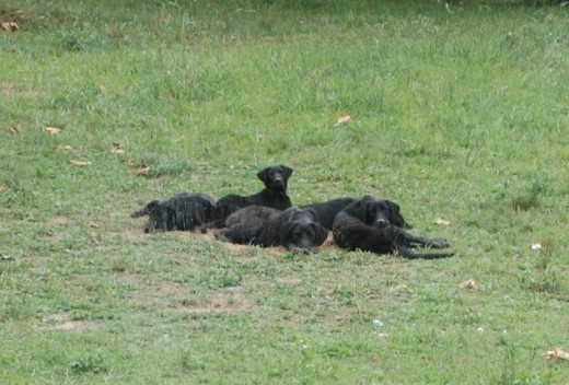 These are some of my brats and despite sharing a color, they are as different as fire and water; both in appearance and character. And if you can't tell by looking at the picture, having a black dog is a great thing. They love mud and water!