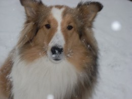 Bella, eating the snow!