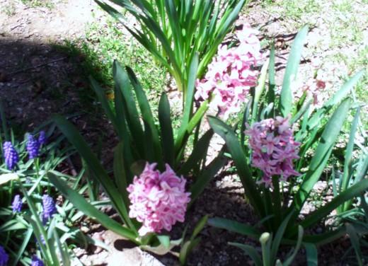 Pink hyacinths in spring.