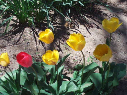 Large yellow tulips with a red one nearby.