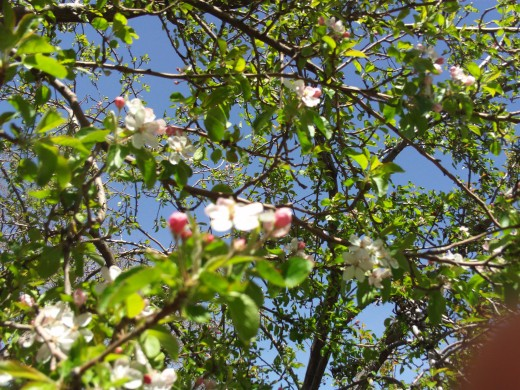 Pink blossoms on the apple tree.