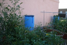 The side of our home showing the rain barrels and tomato plants.