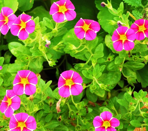 Calibrachoa (Mini Petunia) are a spunky addition to your backyard garden.