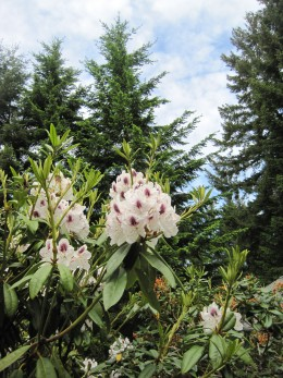 Purple and White Rhododendron