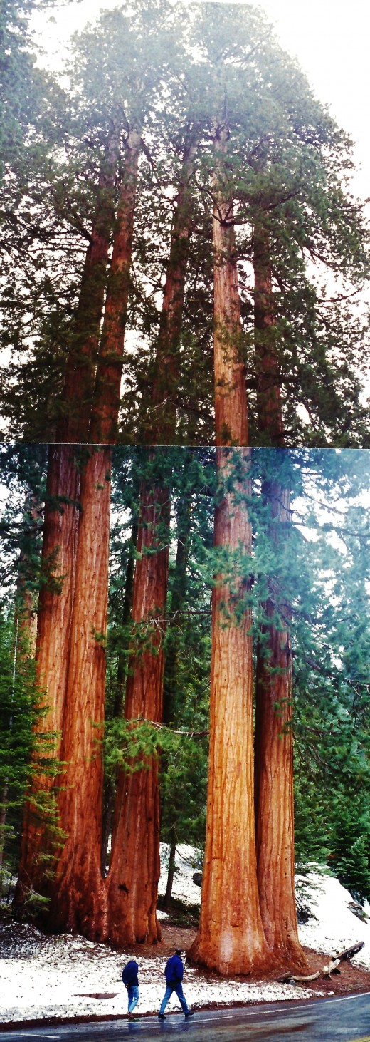 Two pictures pieced together of some sequoia trees...by no means the largest ones, but impressive just the same!